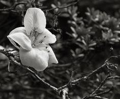 Sobre flores. Fotos: Alyogyne, conhecida como Hibiscus Lilás; Trepadeira, Akebia Quinata, arbusto do Japão; Abelia; Azalea, arbusto do género do Rododendro