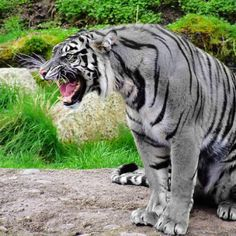 The Maltese Tiger is a blue colored tiger found in China. The Maltese Tiger is described as a tiger with blue or grey colored fur. The Maltese Tiger is a rare color of tiger that can actually happen in nature caused by the condition melanism which is. Rare Animals, Animals And Pets, Exotic Animals, Beautiful Cats, Animals Beautiful, Beautiful Images, Beautiful Things, Maltese Tiger, Big Cats