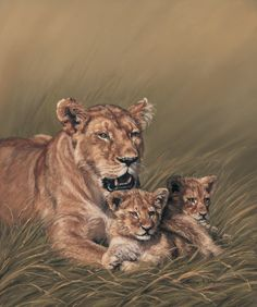 Lioness Lion Cub Affection Animal