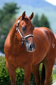 Chestnut quarter horse.                                                                                                                                                                                 Mais