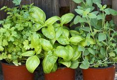 7 Reasons Your Herb Garden Keeps Dying - Delish.com - Easy plant troubleshooting.