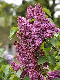 TGG's Fav Fragrant Flowers - Lilac - The Garden Glove newsletter. - http://www.thegardenglove.com/tggs-fav-fragrant-flowers/