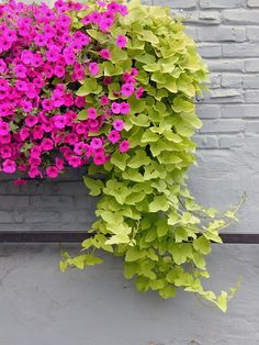 Petunia and sweet potato vine perfect for window boxes! Container Flowers, Garden Projects, Plants, Garden, Potato Vines, Beautiful Flowers, Petunias, Container Gardening, Garden Vines