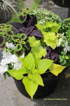 NGB Year of the Coleus: Together coleus, sweet potato vine and impatiens make a spectacular impact. by eliza