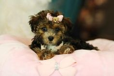 ♥♥♥ Teacup YorkiPoo's! ♥♥♥ Bring This Perfect Baby Home Today! Call 954-353-7864 www.TeacupPuppies... ♥ ♥ ♥ TeacupPuppiesStore - Teacup Puppies Store Tea Cup