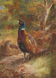 """Cock and Hen Pheasant in a Woodland Clearing, 1928, by Archibald Thorburn (British, 1860–1935). Watercolour and bodycolour,  54 x 39 cm (21 1/4 x 15 3/8"""")"""