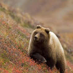 Grizzly Bear in Berries  by Tim Grams    Isn't Nature SCARY