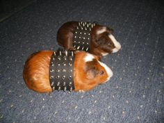 Lol :p. This is great! I love spikes and Guinea piggies!! Combine = awesomeness