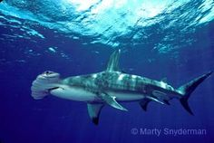 Tiburón martillo gigante (Sphyrna mokarran), Animal en Peligro de Extinción