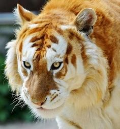 This is a golden tabby tiger! They are extremely rare and only about 30 tigers have this colour. It's so pretty!