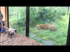 He was going to eat him!! @Nick Steltenkamp  Jokes - Tiger Scares The Pugs