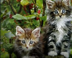 awesome fluffy kittens wallpaper Check more at http://www.finewallpapers.eu/pin/4333/