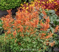 Monrovia's Kudos Mandarin Dwarf Hummingbird Mint details and information. Learn more about Monrovia plants and best practices for best possible plant performance.