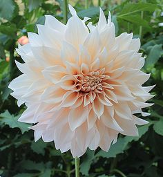 Cafe Au Lait Dahlia. My FAVE flowers. Literally the only flowers I would like to receive, but would rather get the plant to continue to grow them!