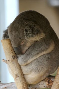 I would love to be reincarnated into a Koala Bear in my next life. They have it made. Sleep for 20 hours and eat for 4. There really is nothing better :)