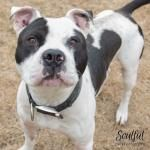 My name is Bosco, I'm around 4 yrs old. I'm very sweet, playful and active. I have a lot of energy, but I'm not jumpy or pushy. I have a soft side too- I enjoy cuddling. I've gotten to play with other dogs at the shelter, and I have so much fun! Bosco is ACR# 31980 at Oakland Animal Services.