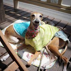 canedilanaジュノさんの前祝い散歩💕 主役はジュだもんねー☺  #Italiangreyhound#iggy#sighthound#dog#elegantdog#ig_jp_f#elegantdog#needlefelting#AJ