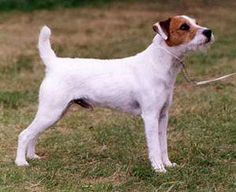 Parson Russell Terrier Breed Pictures and Information Terrier Breeds, Rat Terriers, Terrier Mix, Terrier Dogs, Parson Jack Russell, Parson Russell Terrier, Jack Russell Dogs, Amelie, Cute Dog Pictures