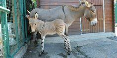 Ippo, a specimen of zonkey (© CARLO FERRARO/ANSA/Corbis) is a cross between a rare endangered donkey and a zebra.