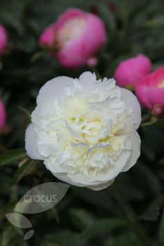 Buy paeony / peony Paeonia lactiflora 'Duchesse de Nemours': Delivery by Waitrose Garden in association with Crocus