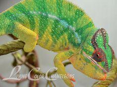 Gumby.  Nosy Mitsio Panther Chameleon