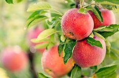 Apple Health Benefits, Apple Cider Benefits, High Potassium Foods, Apple Picture, Apple Festival, Vegetables Photography, Fruit Photography, Raw Apple Cider Vinegar, Apple Varieties