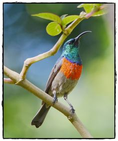 A Greater Double-collared Sunbird (male) on a visit to my home.