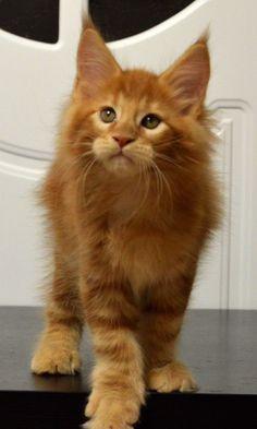 Котенок мейн кун Montaro Darsy, 2 month http://www.mainecoonguide.com/maine-coon-temperament/