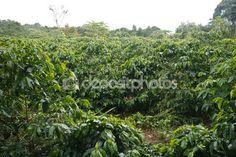 plantação de café — Foto Stock © sidneydealmeida #84266786