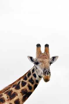 Up close and personal. Kruger Safari, South Africa #giraffe | lark&linen