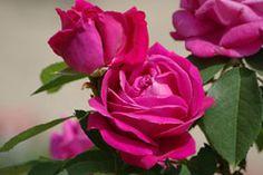 Rosen konservieren – 3 Varianten Rosen ewig haltbar zu machen