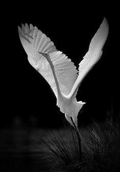 Heron or Egret? So beautiful! Pretty Birds, Love Birds, Beautiful Birds, Animals Beautiful, Cute Animals, Small Birds, Wild Animals, Baby Animals, Funny Animals