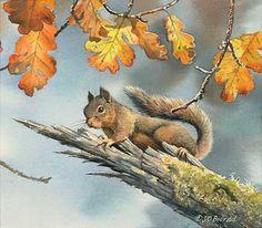 Nutcase – Douglas Squirrel
