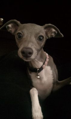 Italian Greyhound: the essence of elegance with a little bit of sweet goofball thrown in!