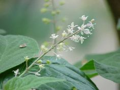 Patchouli Oil, Some Uses
