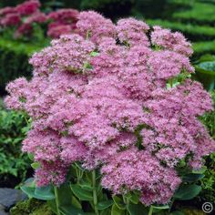 Van Zyverden Garden Succulent Sedum Brilliant (Set of 3 - The Home Depot Bonsai, Succulent Landscaping, Hydrangea Care, How To Attract Hummingbirds, Garden Care, Ornamental Grasses, Colorful Flowers, Beautiful Flowers, Green Leaves