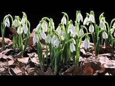 EARLY SPRING snowdrop flower time laps. Sir David Attenborough's opinion - YouTube