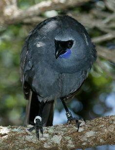 Kokakos can half fly....more like jump from tree to tree......a flightless bird