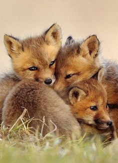 Three baby foxes