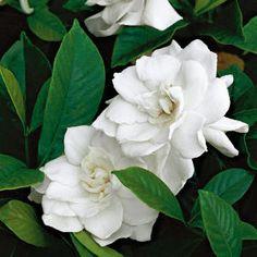 gardenias - le parfum !!!!!
