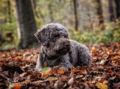 Anett Seidensticker - Photographie - Podgi & Beppa Italian Water, Lagotto Romagnolo, Nature Pictures, Puppies, Street Wear, Group, Board, Photography, Cubs