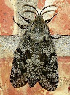 Carpenterworm Moth - Prionoxystus robiniae- seen at VCU Rice Rivers Center