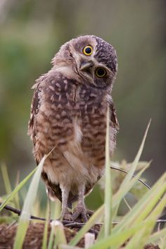 Curious burrowing owl fledgling