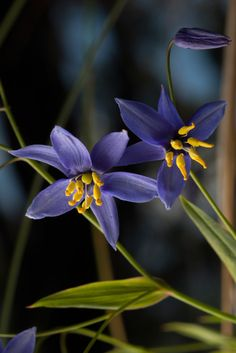 Exquisite nodding blue lilies are found in Warrumbungle National Park. The plant can tolerate drought but flowers profusely after rain. Flowers Nature, Wild Flowers, Beautiful Flowers, Colorful Flowers, Blue Lilies, Australian Wildflowers, Pictures Of Lily, Rock Garden Plants, Rare Orchids