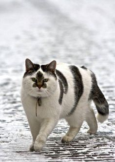 Warrior Cat Is Ready for Battle