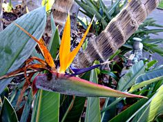https://flic.kr/p/g2u6qa | In the Botanical Gardens | The Royal Botanic Gardens in Sydney, New South Wales  'Strelitzia reginae (Strelitziaceae) is a monocotyledonous flowering plant indigenous to South Africa. Common names include Strelitzia, Crane Flower or Bird of Paradise, though these names are also collectively applied to other species in the genus Strelitzia. Its scientific name commemorates Charlotte of Mecklenburg-Strelitz, queen consort of the United Kingdom being the wife of King…