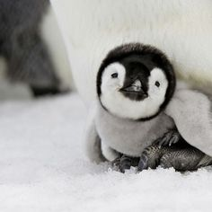 Baby Penguin! - Click image to find more Pets Pinterest pins