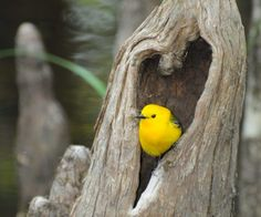 """ymmd IsaRtfulfairytale [Prothronotary Warbler in a heart shaped opening in a cypress """"knee"""" at Audubon's Francis Beidler Forest Love Birds, Beautiful Birds, Animals Beautiful, Heart In Nature, Heart Art, I Love Heart, With All My Heart, Cypress Knees, Foto Art"""