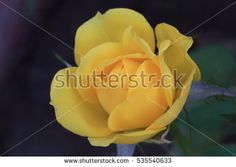 a yellow rose in a garden