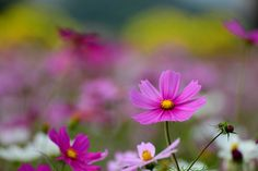 https://flic.kr/p/i5qGrY | Cosmos | Copyright © Vincent Ting Photography. All rights reserved. Please don't use without my permission Welcome visit my Getty Images